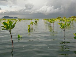 Warming winters send Florida's mangroves north